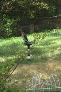 Hawk at home's near birdbath 16 July 2011. Photo by Ben S. Pollock