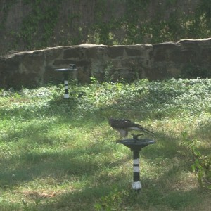 Hawk alighting for far birdbath 16 July 2011. Photo by Ben S. Pollock