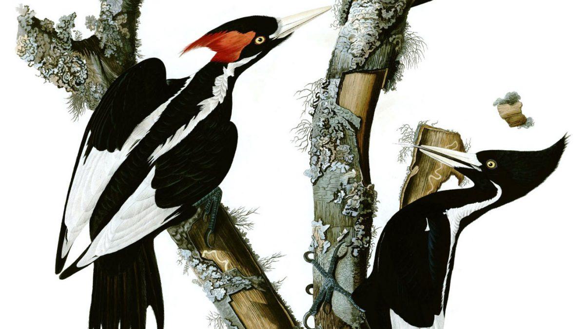 Detail of Audubon engraving of ivory-billed woodpecker