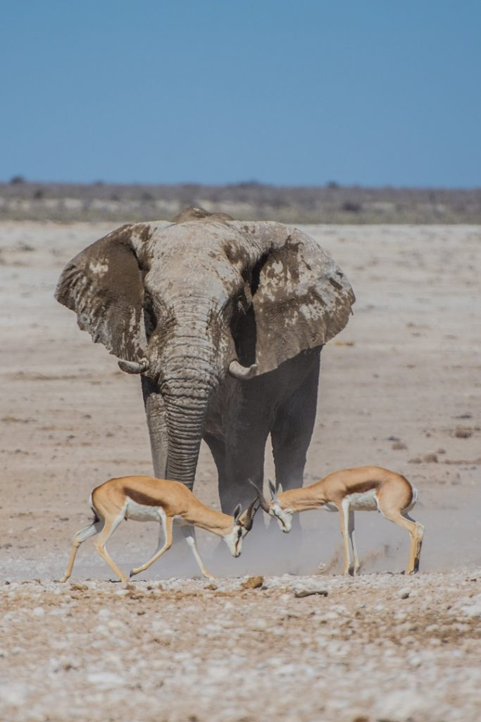 Two young antelopes spar or play in front of elephant